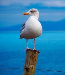 Colonias de aves en Islas Atlánticas de Galicia