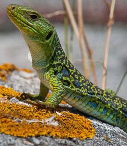 Reptiles en elecosistema marítimo terrestre deIslas Atlánticas de Galicia