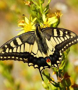 Mariposa Macaón en las Islas Atlánticas de Galicia
