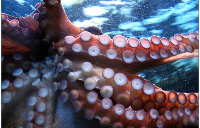 pulpo-fauna-submarina-cies